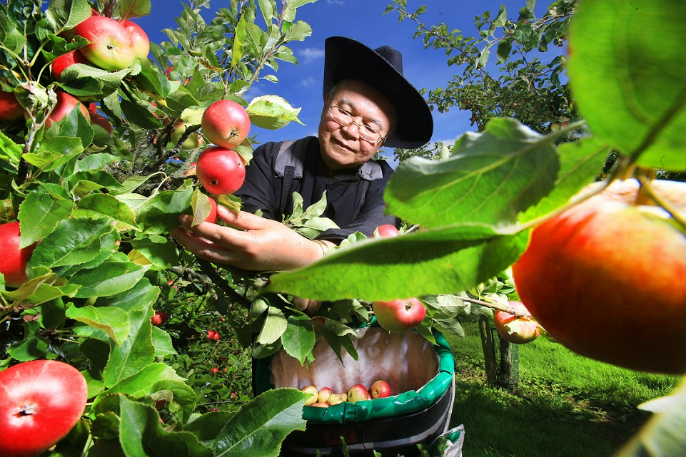 Harvest begins at Ampleforth Abbey Orchard